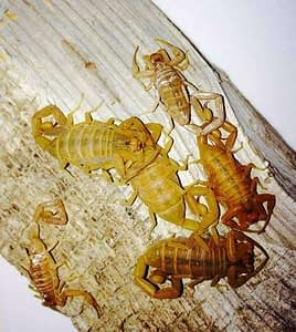 arizona bark scorpions nesting together