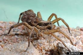 Wolf Spider with Young Mesa AZ